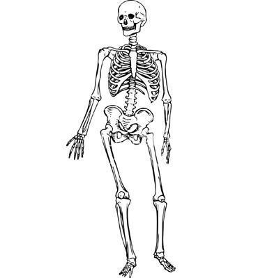 human-skeleton-vector-294186
